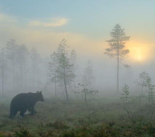 Wildlife In Winter, foggy morning, Forest view