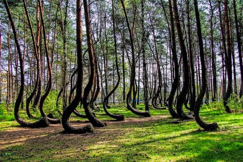 Crooked Pine Tree Forest Poland