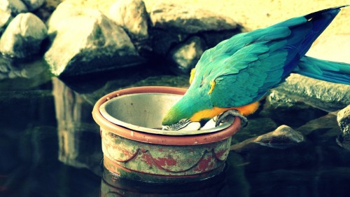 Parrot drinking water