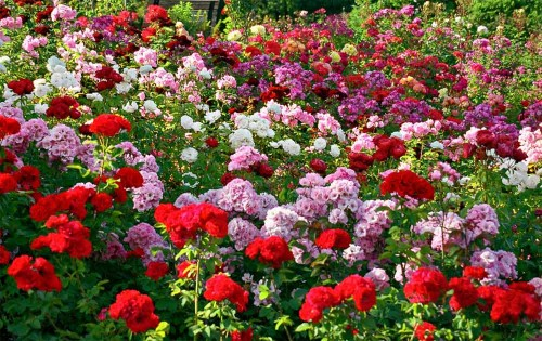 Lovely Red ,Green and White Flowers In Rose Garden Chandigarh.Roes garden is very beautiful place and is called the Zakir Hussain Rose Garden also .