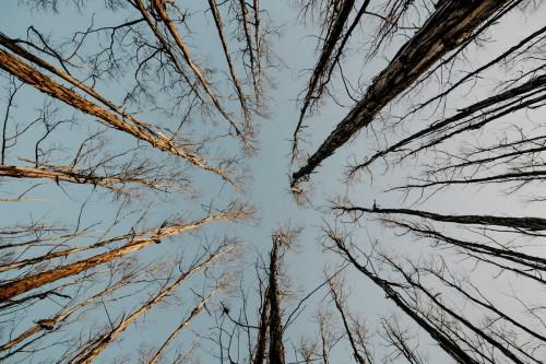 Tall Trees Image
