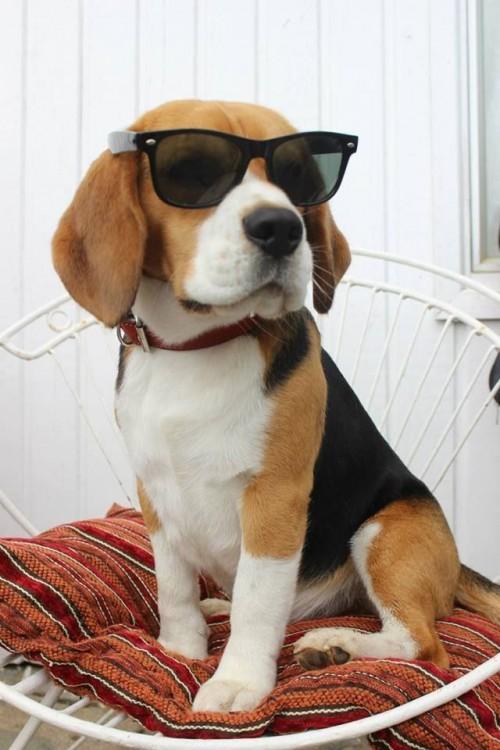 Smarty Dog wearing sun glasses.