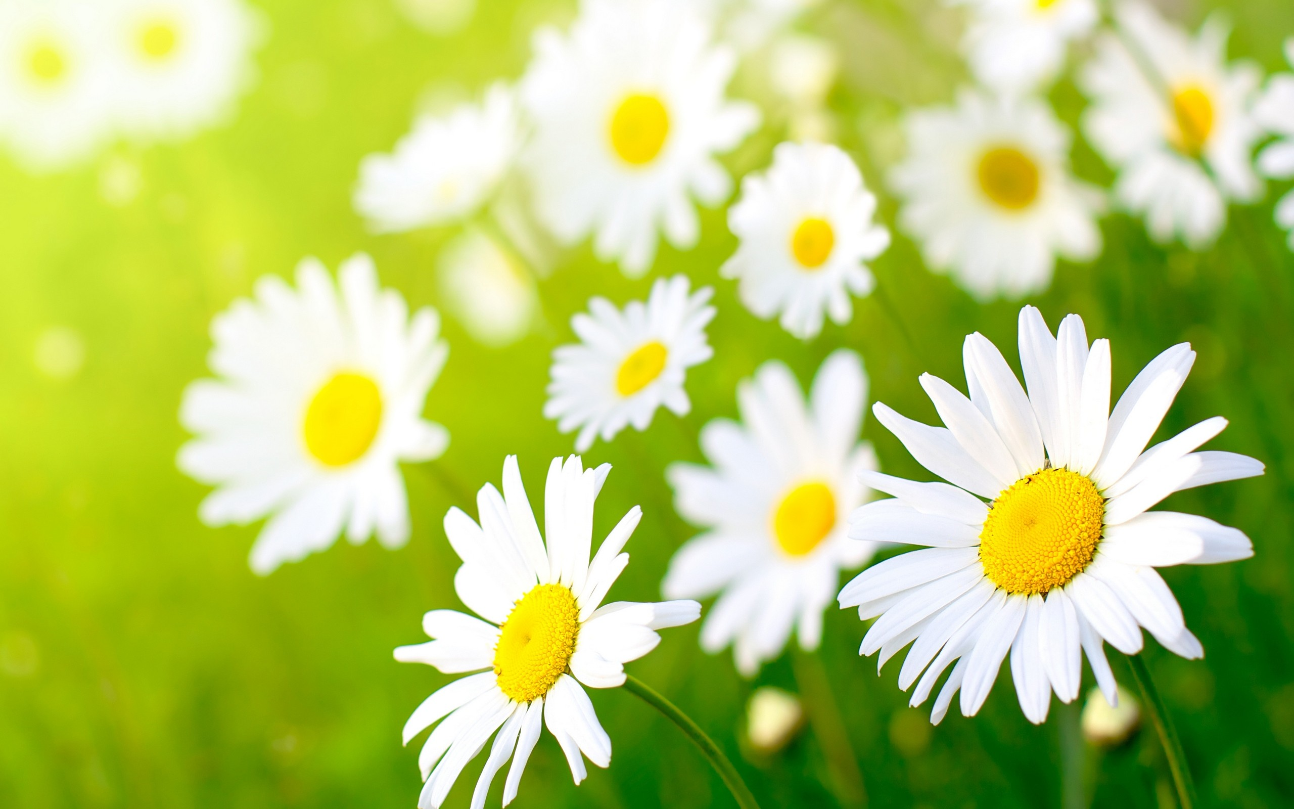 Beautiful Daisy Flowers Pictures Flowers Healthy